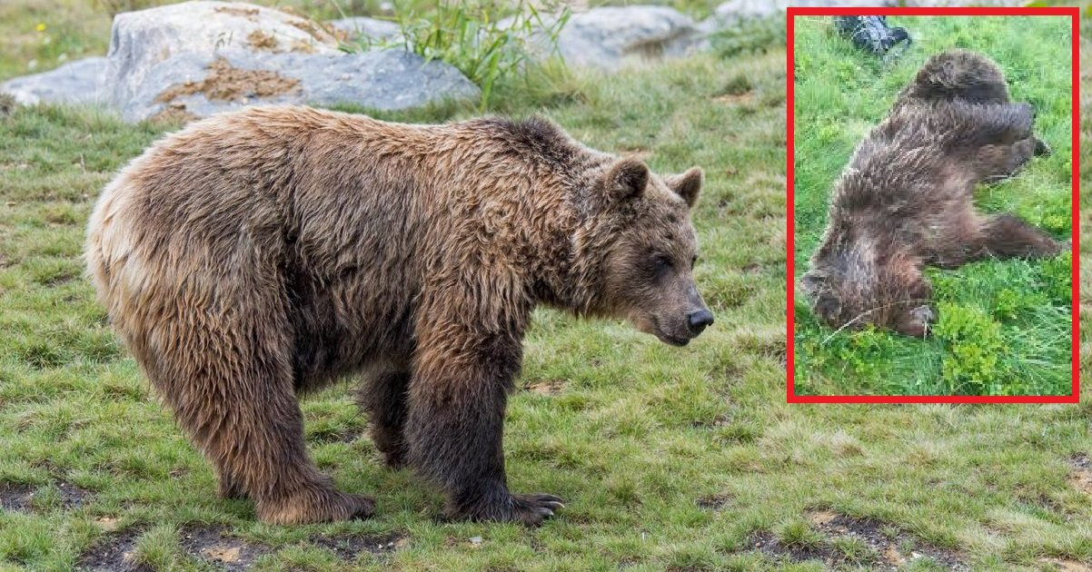 ours 1.jpg?resize=1200,630 - Ours tué en Ariège: si vous avez des informations sur le tueur, la récompense est maintenant de 30.000 euros