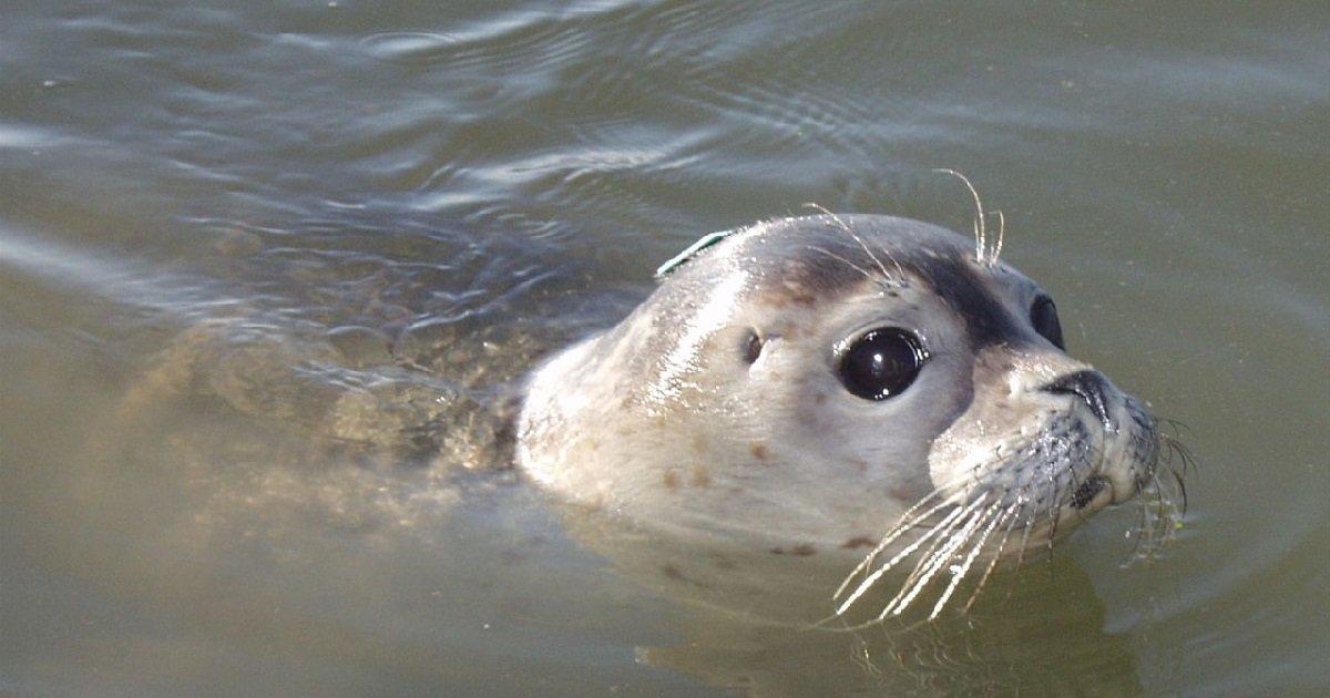 phoque.jpg?resize=300,169 - Finistère: un phoque a encore été retrouvé décapité à l'arme blanche sur une plage