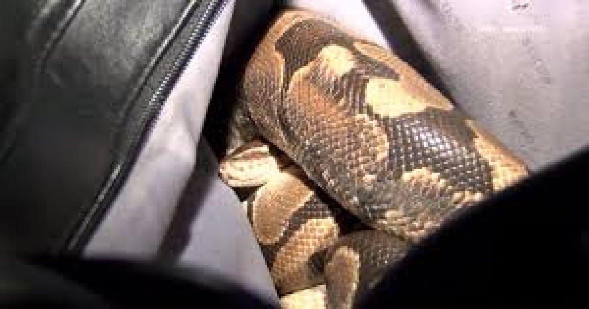 """snake.jpg?resize=300,169 - Belfort: un homme ivre a eu la """"bonne idée"""" de se balader avec un serpent de 80 cm"""