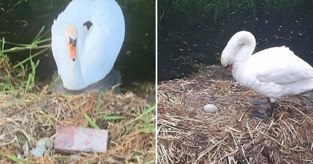 untitled design 19.jpg?resize=412,232 - Mother Swan Died From Broken Heart After Teens Destroyed Her Nest