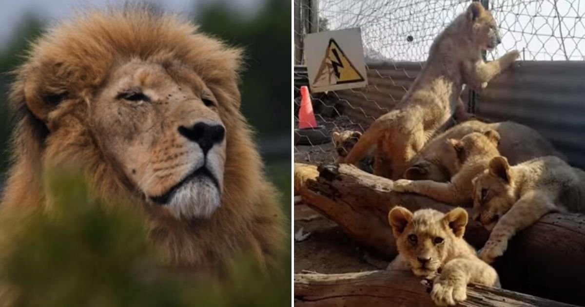 untitled design 8 1.jpg?resize=412,232 - Thousands Of Lions Are Being Held In Captivity To Be Hunted By Tourists