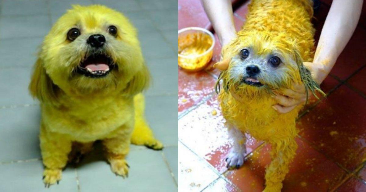 yellow.png?resize=412,232 - 愛犬が黄色にカラーリング?ネット上で「動物虐待だ!」と指摘されるも飼い主が号泣している理由