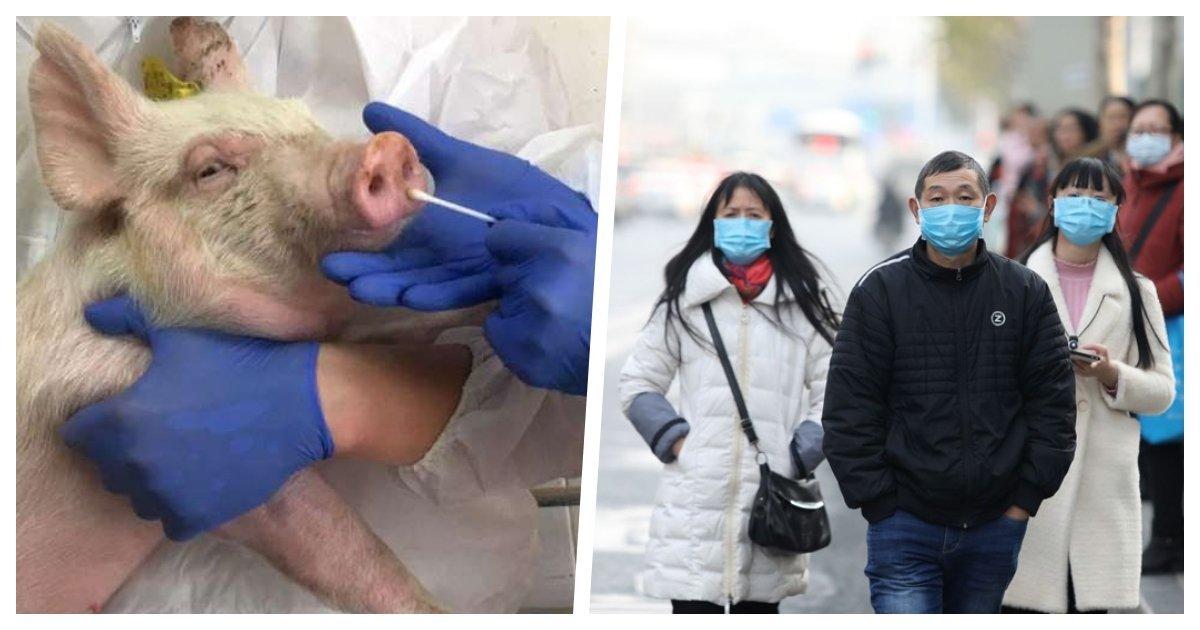 1 2.jpg?resize=412,232 - China Descubre Nuevo Virus De Gripe Porcina Y Teme Una Nueva Pandemia