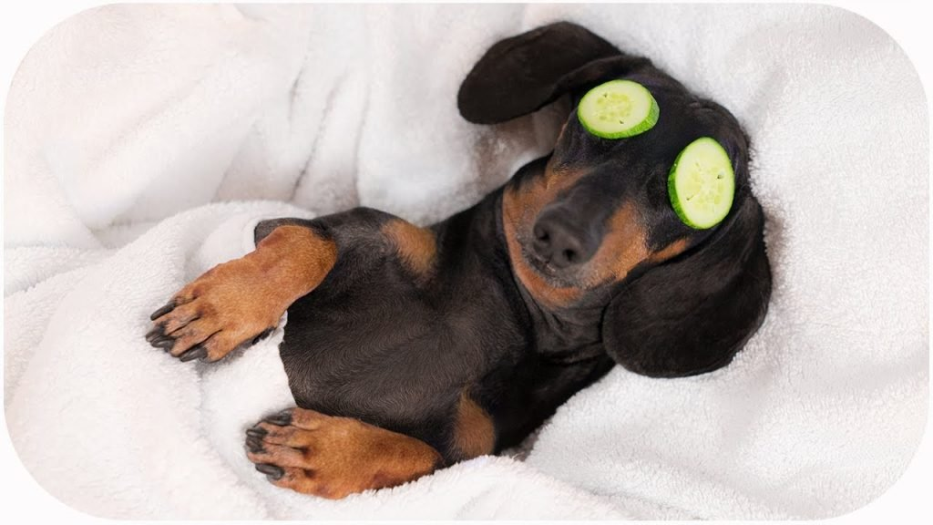 the oldest dachshund