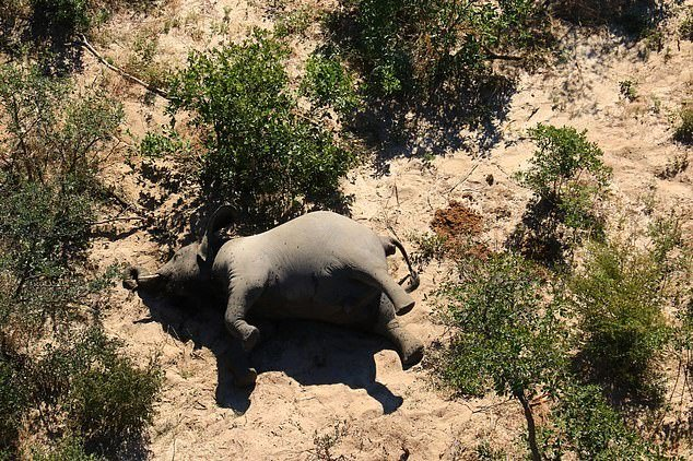 More than 350 elephants have died from unknown causes, with aerial photos showing their carcasses scattered across the Okavango Delta (pictured) and other northern Botswana