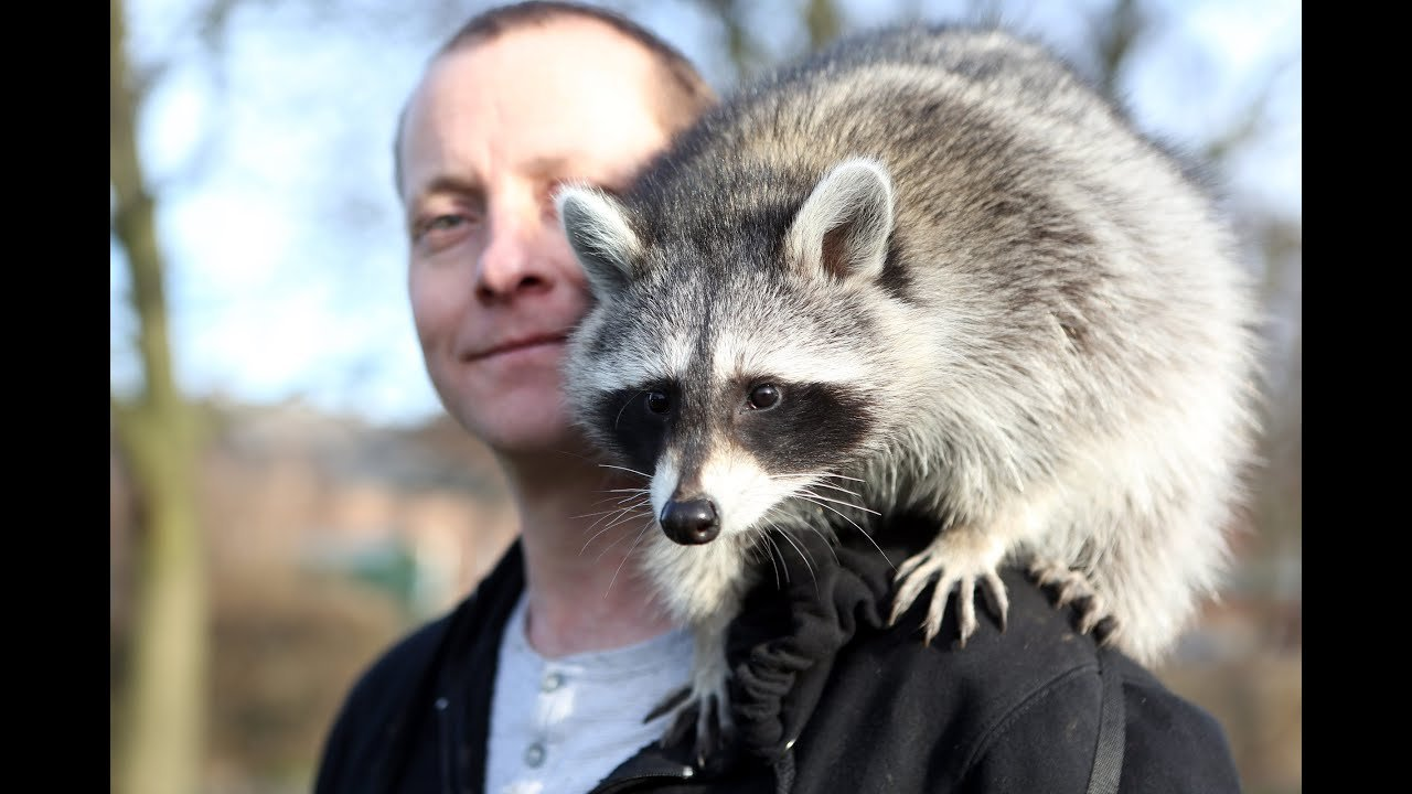 raccoon as a pet