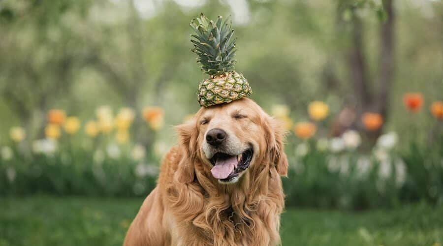 Can Dogs Have Pineapple