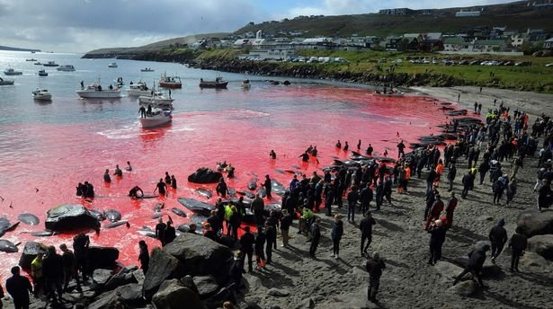 Sea turns red in Faroe Islands as 250 whales slaughtered in ...