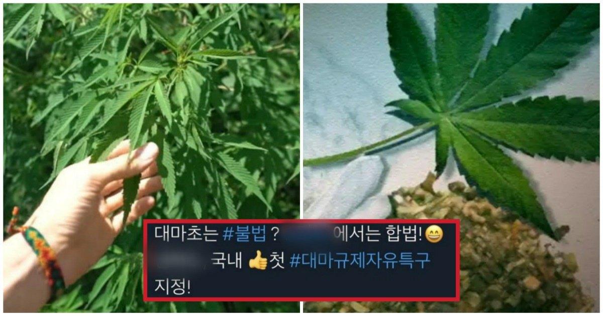 """3 20.jpg?resize=412,232 - """"우리나라에서 대마초가 합법이 되었다고?""""... 한국 최초로 대마초 재배가 '합법'이 된 지역"""