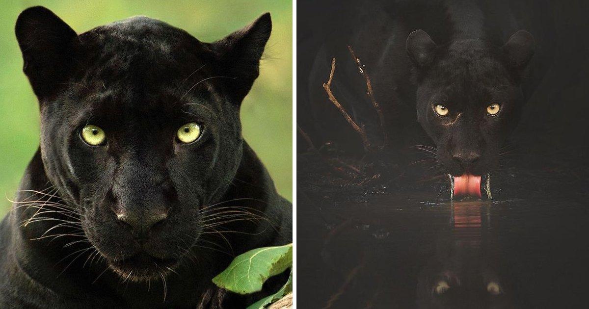 6 41.jpg?resize=412,232 - 인도 정글에서 어렵게 포착한 '블랙팬서' 사진, TOP 19
