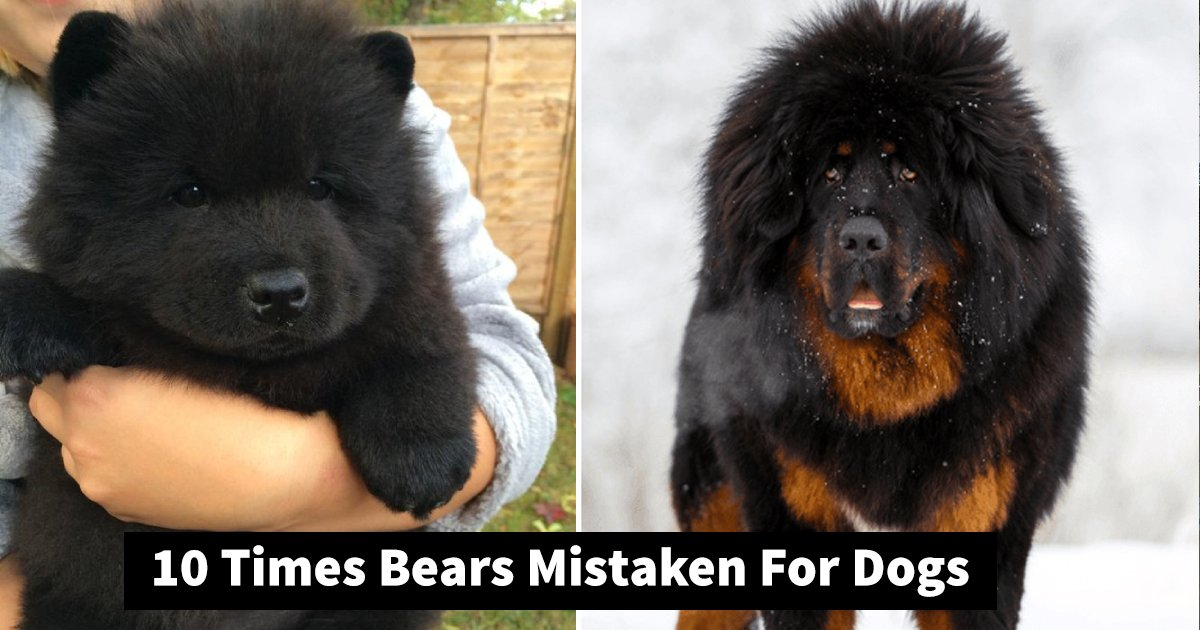 bears dogs.jpg?resize=1200,630 - 10 Bear Mistaken For Dog Images That You Can't Help But Adore
