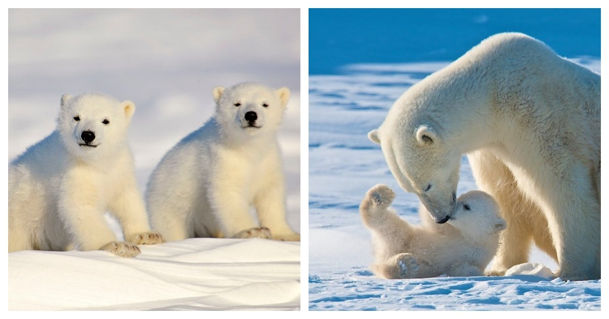 collage 53.jpg?resize=412,232 - Study Suggests Most Polar Bears May Go Extinct By 2100 Under Current Greenhouse Gas Emissions