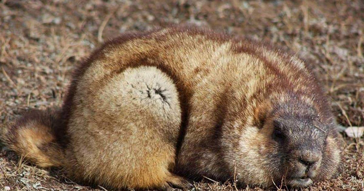 ec8db8eb84ac 2 13.jpg?resize=366,290 - Don't Eat Marmots Please - Or You Get The Bubonic Plague