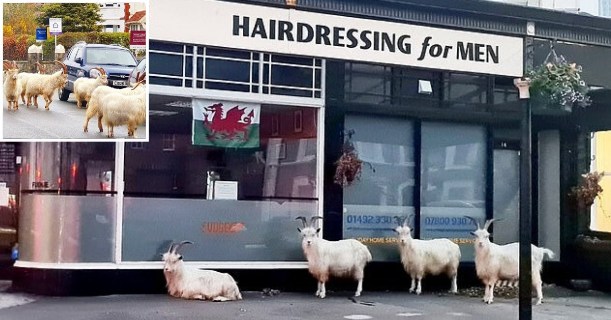 goats5.png?resize=412,232 - Shaggy-Haired Goats Spotted Forming Orderly Queue Outside A Barbershop