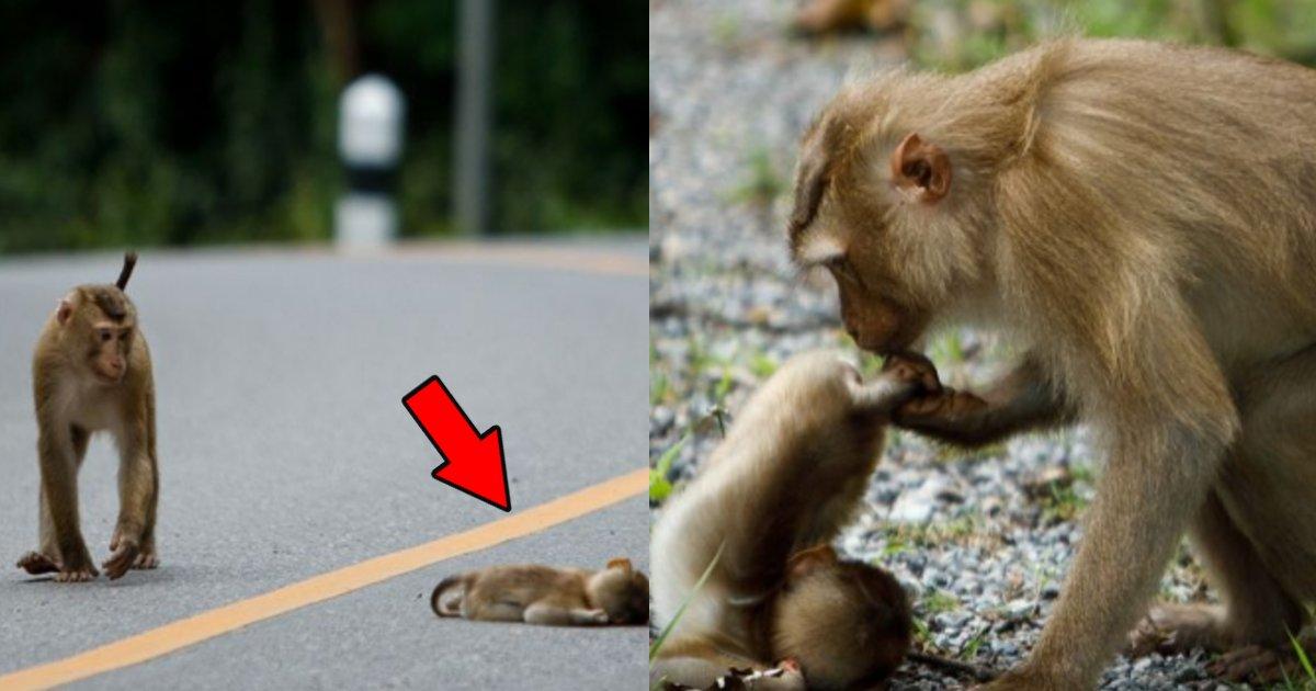 hahazaru.png?resize=412,232 - 車にひかれ命を落としてしまった子猿に「最後のキス」をした母猿の姿が泣ける…