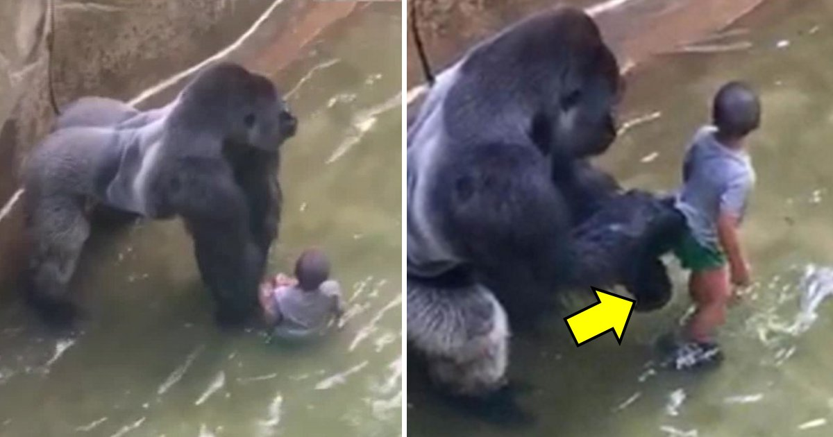 harambes death.jpg?resize=1200,630 - Zookeeper Makes Shocking Revelations Relating To Harambe's Death
