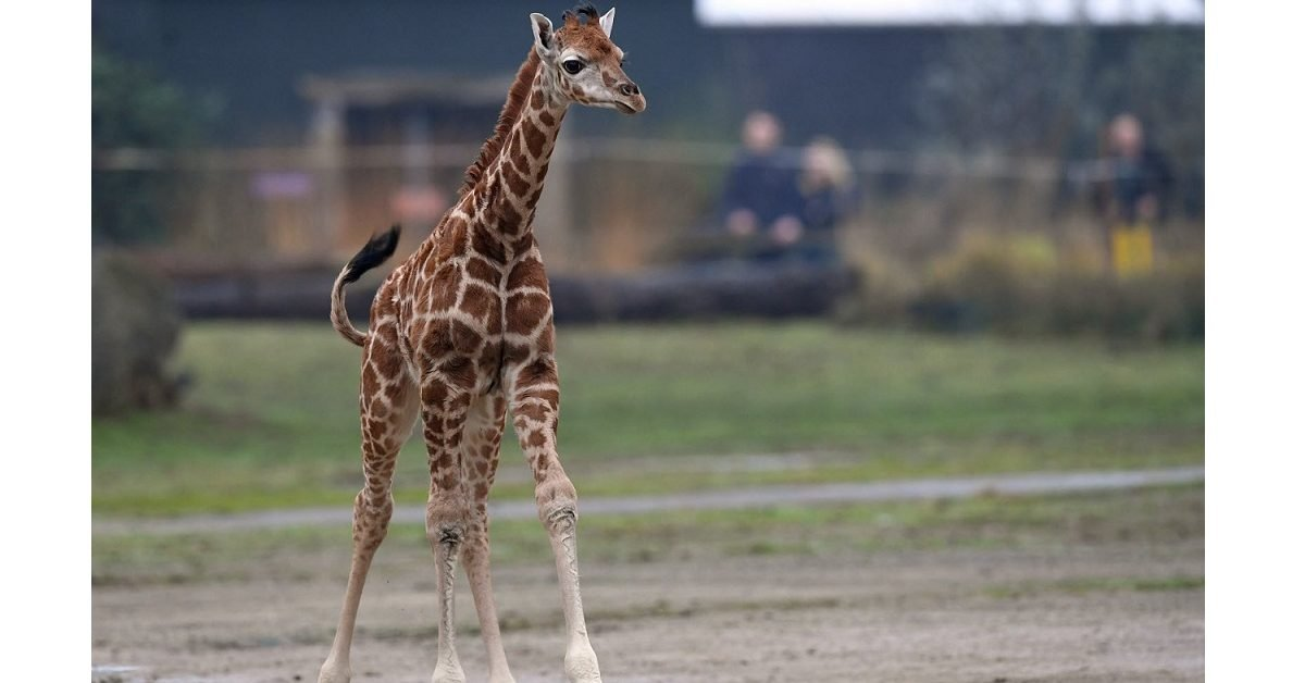 lalsace 1 e1596032492396.jpg?resize=412,232 - Vidéo : C'est une première, un girafon est né au zoo du Bassin d'Arcachon