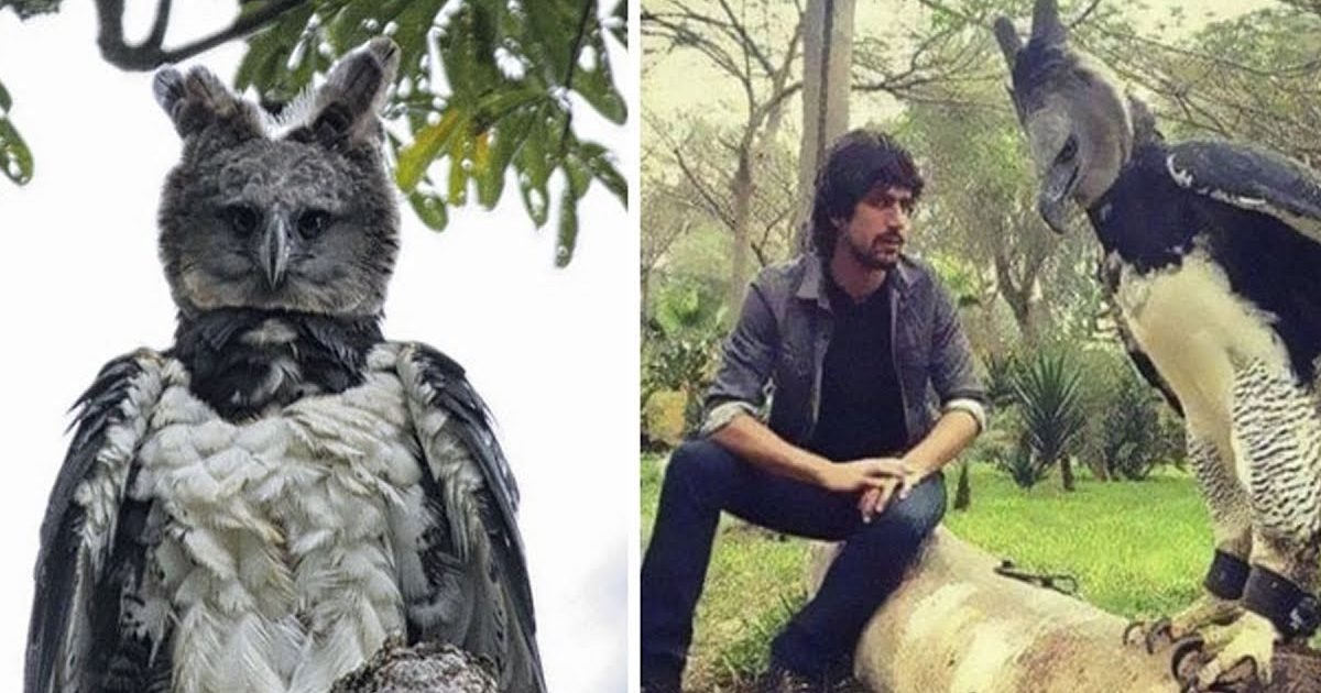 large bird harpy eagle 1 e1595621923734.jpg?resize=412,232 - Découvrez la harpie féroce, un oiseau si grand que certains pensent qu'il s'agit d'une personne déguisée