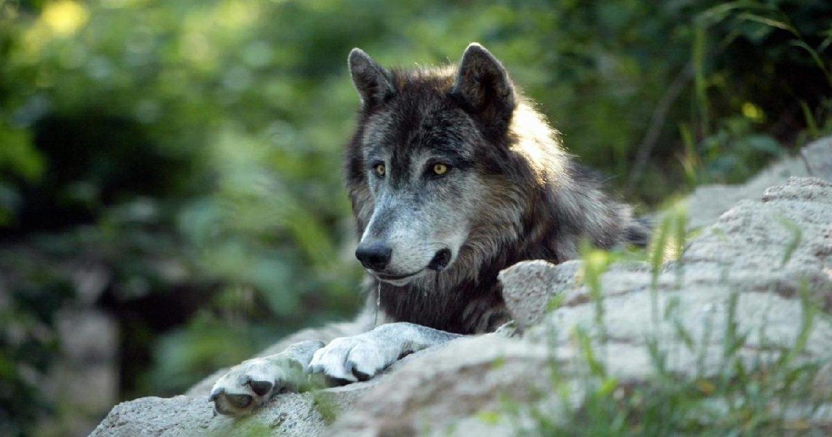 loup.jpg?resize=412,232 - Animaux sauvages: les loups sont officiellement de retour en Seine-Maritime