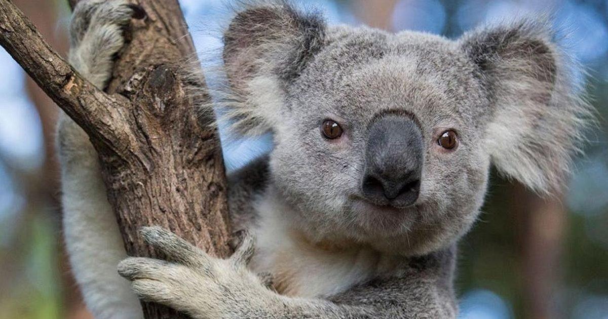 national geographic 1 e1593702703896.jpg?resize=412,232 - Le koala pourrait disparaître du sud de l'Australie avant 2050