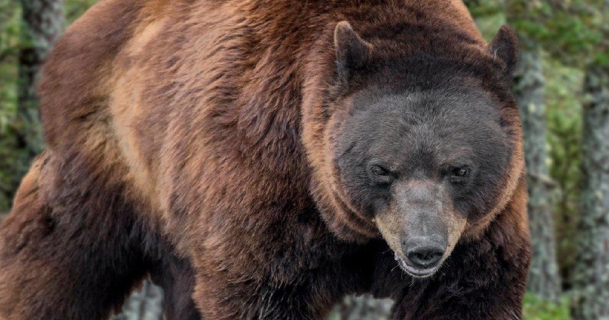 ours.jpg?resize=412,232 - Occitanie: après une nouvelle attaque d'ours, le maire veut interdire les randonnées