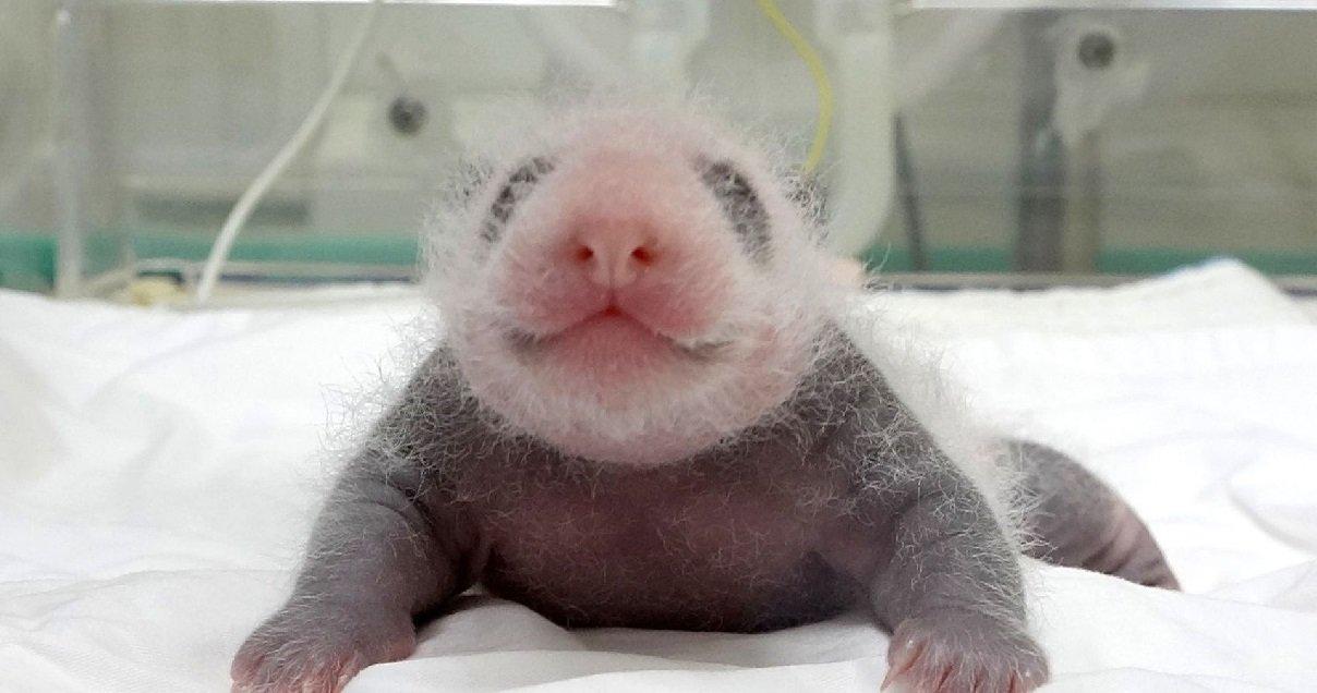 panda.jpg?resize=412,232 - Carnet Rose: un panda géant vient de donner naissance à un bébé en Corée du Sud
