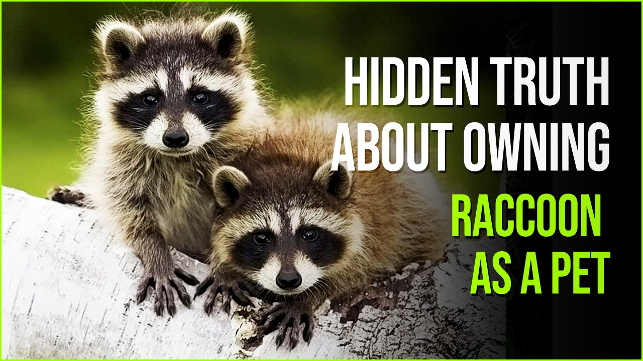 raccoon as a pet.jpg?resize=412,232 - The Hidden Truth About Owning A Raccoon As A Pet Might Startle You