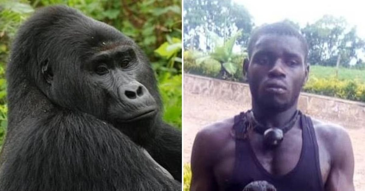 rafiki5.jpg?resize=1200,630 - Poacher Took The Life Of The World's Most Famous Silverback Gorilla