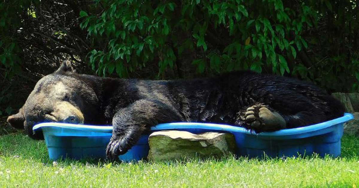 regina keller.jpg?resize=1200,630 - Huge Black Bear Spotted Relaxing In A Pool In Virginia