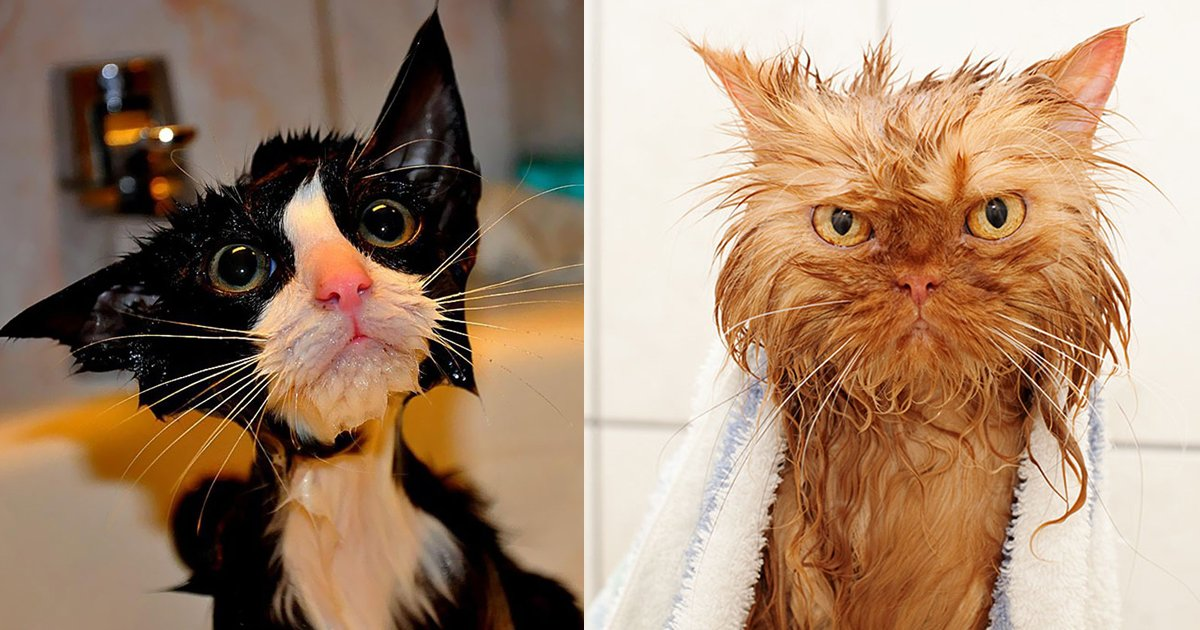 wet cats.jpg?resize=1200,630 - 10 Hilarious Wet Cats Pictures You Can Never Unsee