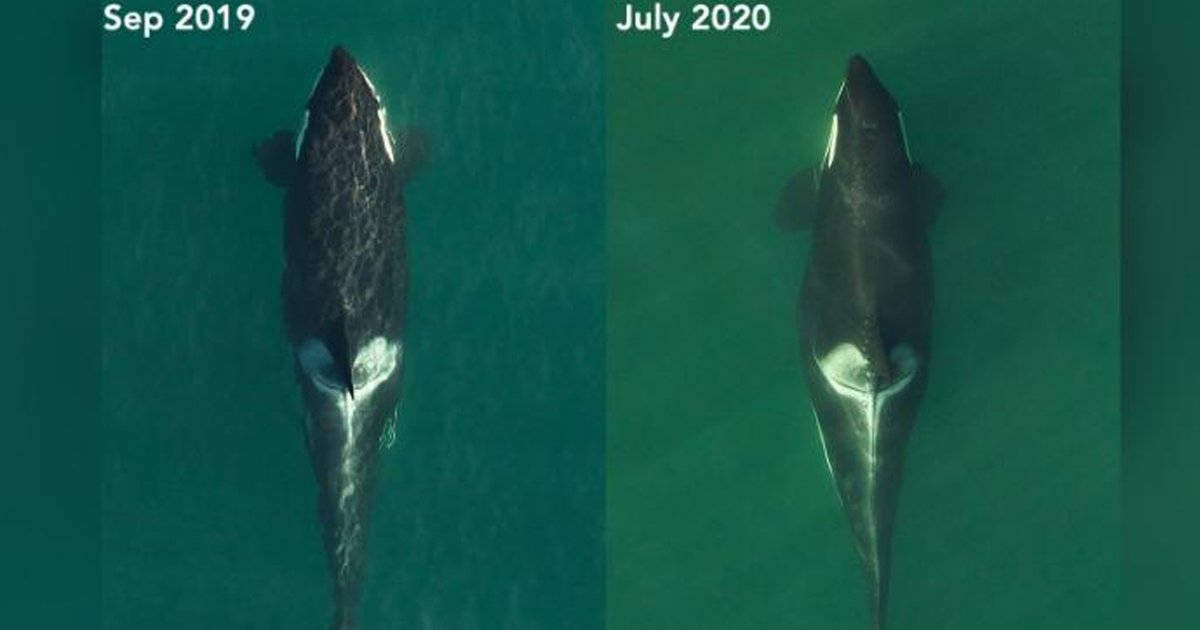 whale.jpg?resize=1200,630 - Endangered Killer Whale Who Carried Dead Calf For 17 Days Is Pregnant Again
