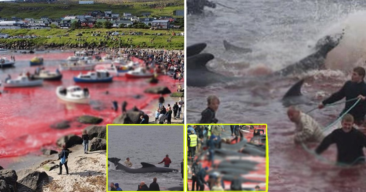 whales.jpg?resize=1200,630 - Sea Turns Red As More Than 250 Whales Slaughtered In Annual Tradition At Faroe Islands