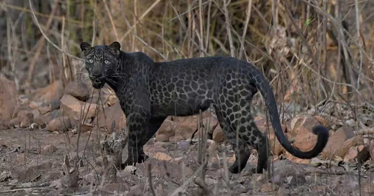 1.jpg?resize=1200,630 - Extremely Rare Black Leopard Spotted At An Indian Reserve