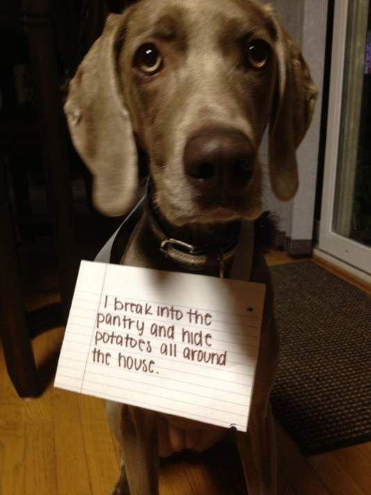 dog shamed images