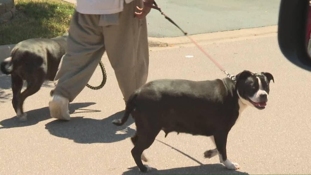 pitbull dog attack