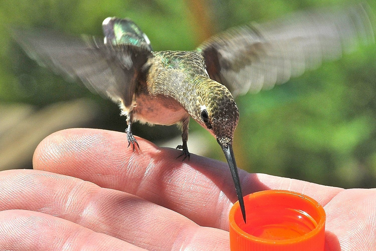 How to Safely Hand Feed Hummingbirds