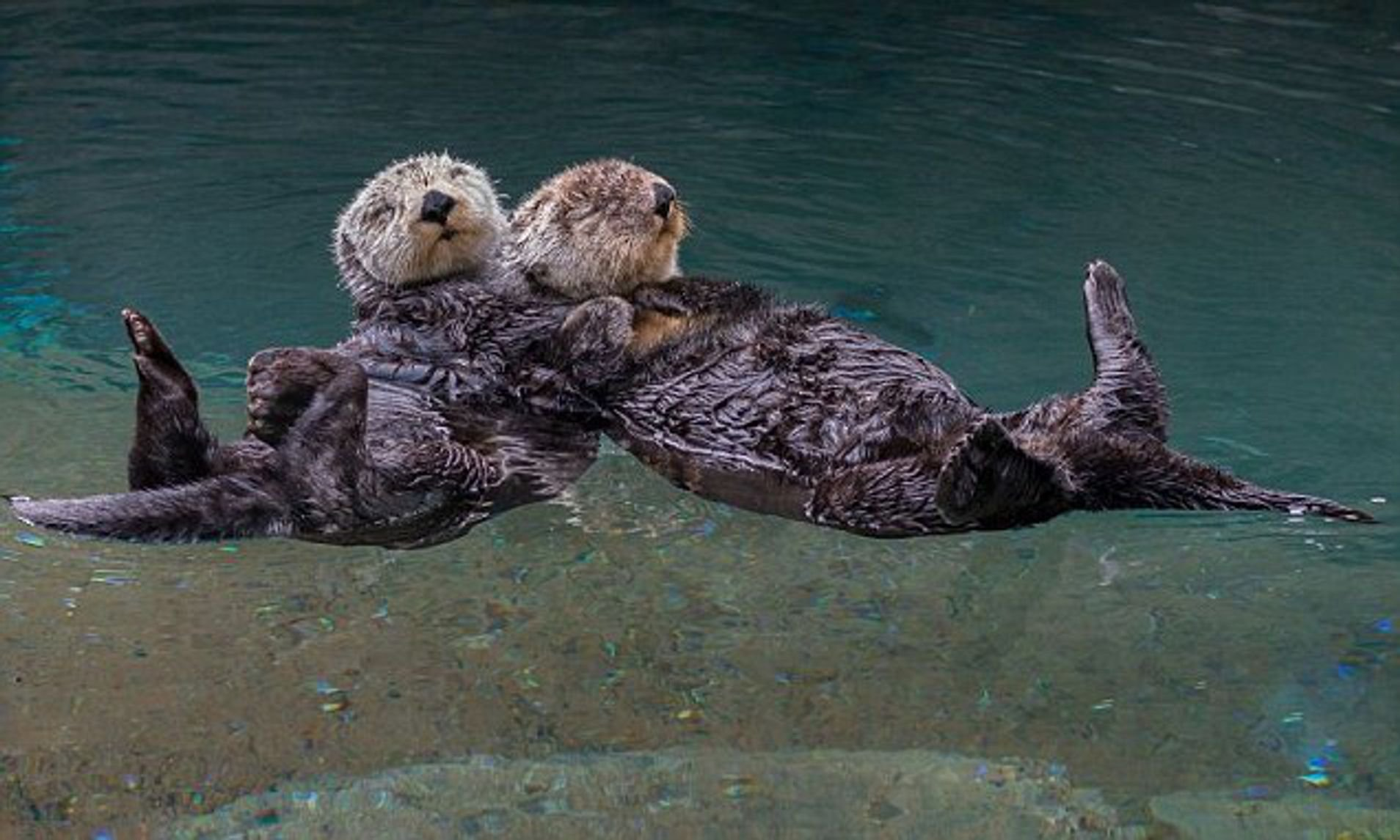 otters holding hands while sleeping