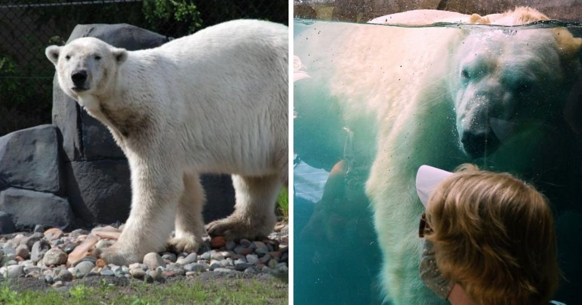 6 7.jpg?resize=1200,630 - Polar Bear Dies At 24 Years Old In Minnesota's Como Park Zoo