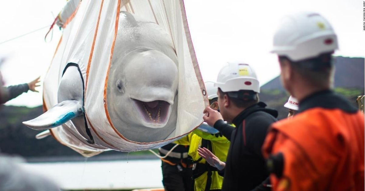 aaron chown pa wire.jpg?resize=412,232 - Two Beluga Whales Finally Back At The Sea After Years Of Captivity