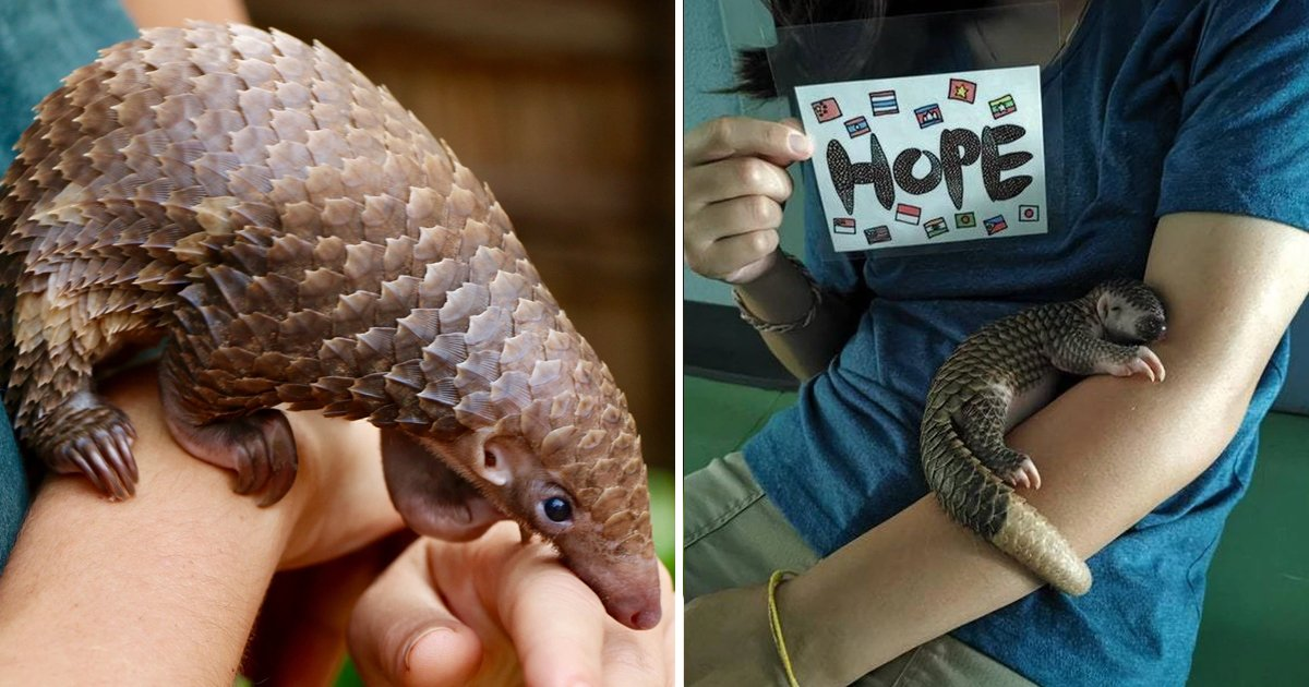 baby pangolins.jpg?resize=412,232 - Baby Pangolins Are Too Cute To Be True And These 8 Facts Prove Why
