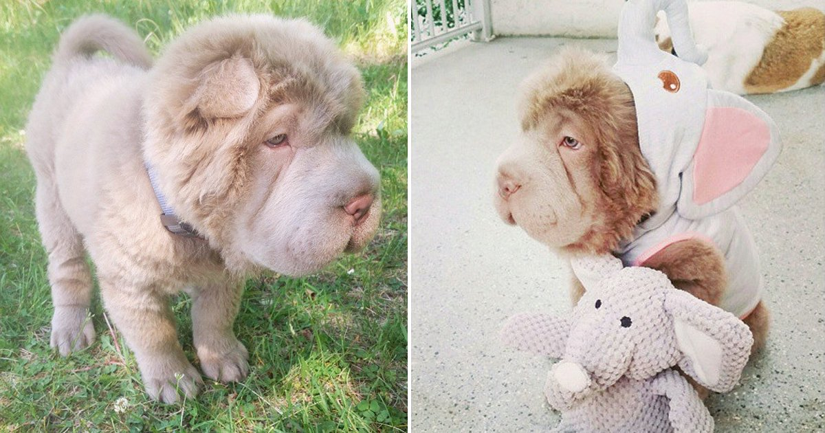 bear coat shar pei dog.jpg?resize=412,232 - 8 Adorable Bear Coat Shar Pei Dog Images Sure To Take Your Blues Away