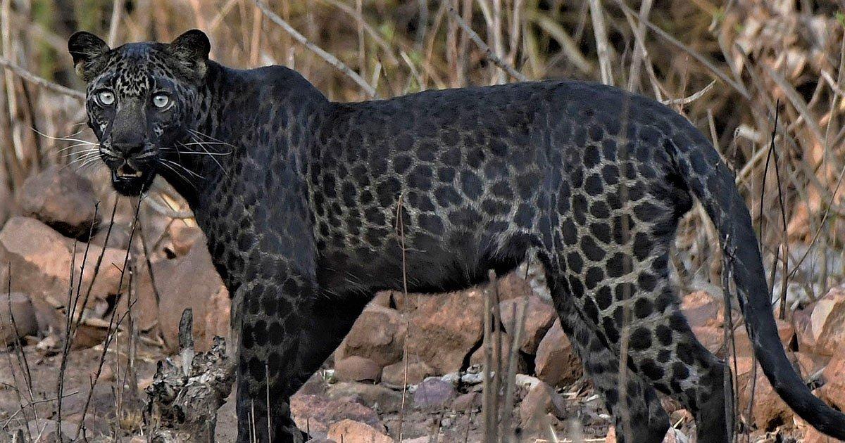 blackleopardcaters.png?resize=1200,630 - Inédit : Un rare léopard noir a été photographié en Inde