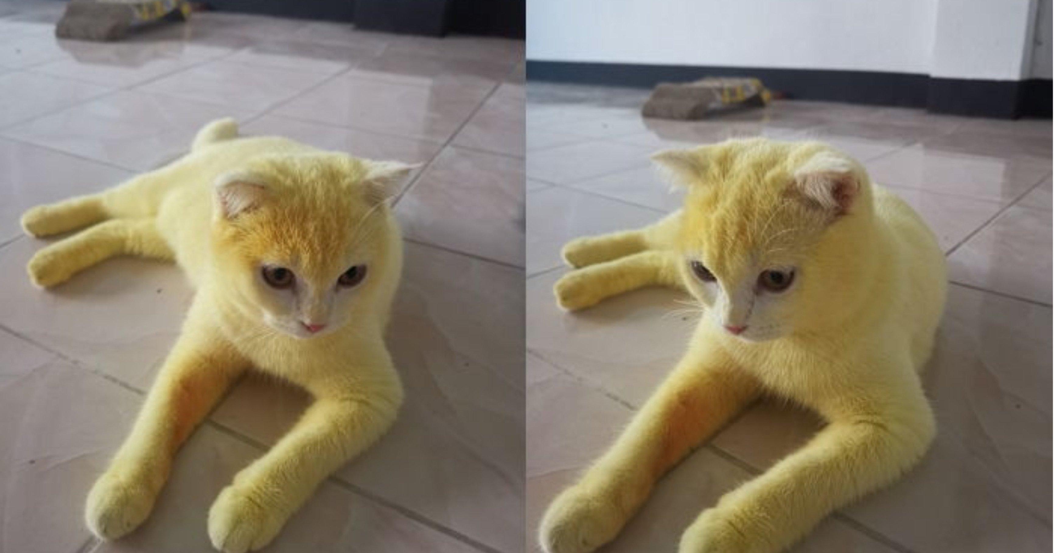 """eab3a0ec9691ec9db4 ec8db8eb84ac.jpg?resize=412,275 - """"억울해요...""""...고양이의 온몸을 노랗게 염색해 동물 학대라 욕먹은 집사가 전한 진짜 이유"""