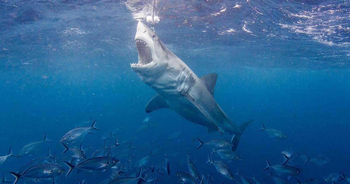 ec8db8eb84ac 3 21.jpg?resize=1200,630 - Great White Shark Punched In The Nose By Australian Surfer In Act of Saving Companion