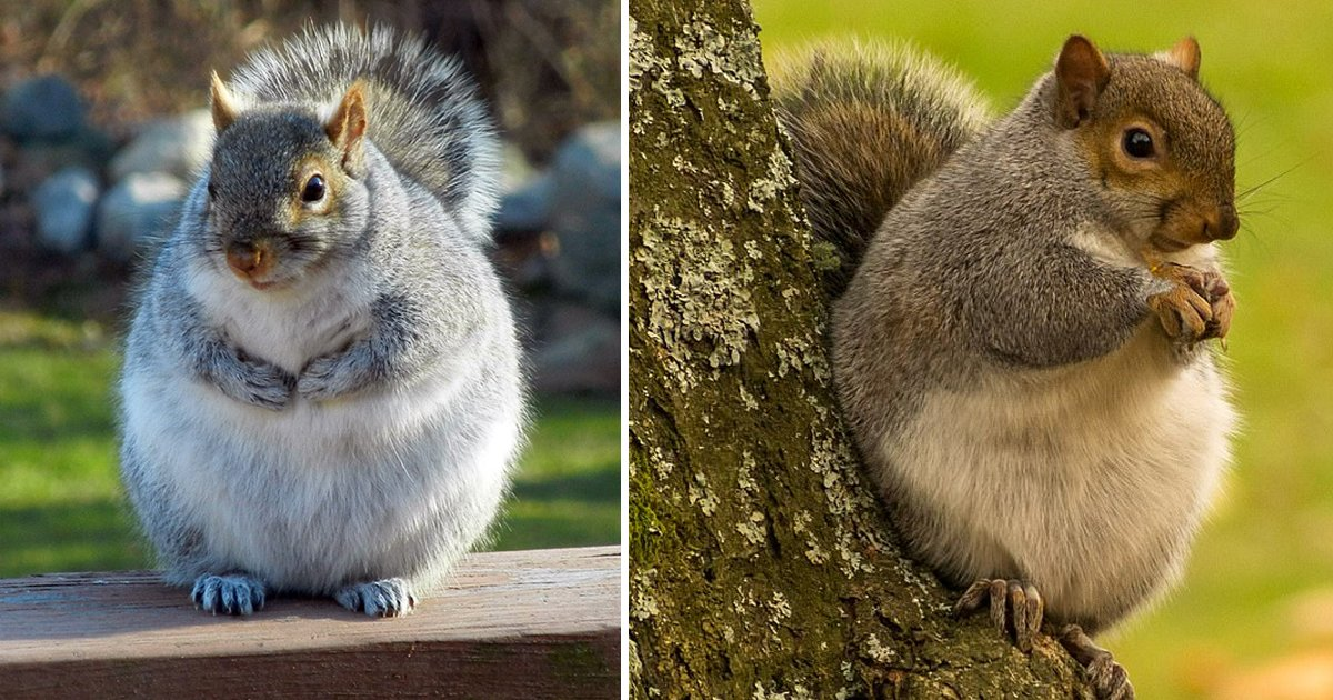 fat squirrels.jpg?resize=1200,630 - These Fat Squirrels Have Gone Nuts For Nuts Like 'The Iceage One'