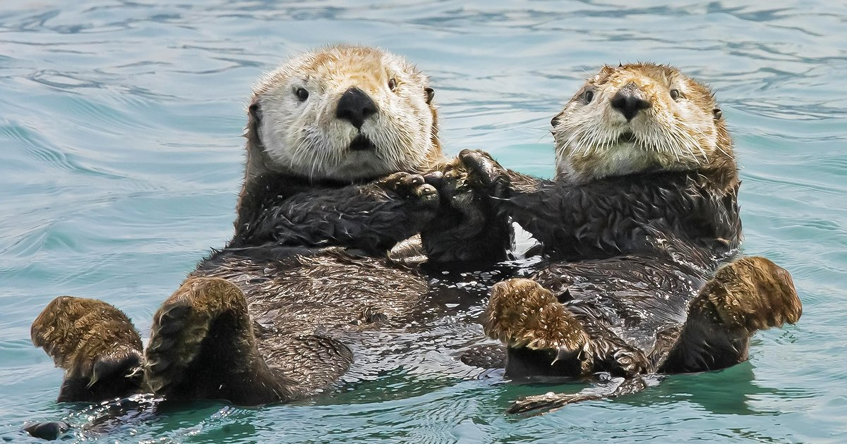 holding hands.jpg?resize=412,232 - Ever Seen Otters Holding Each Others Hands? There You Go!