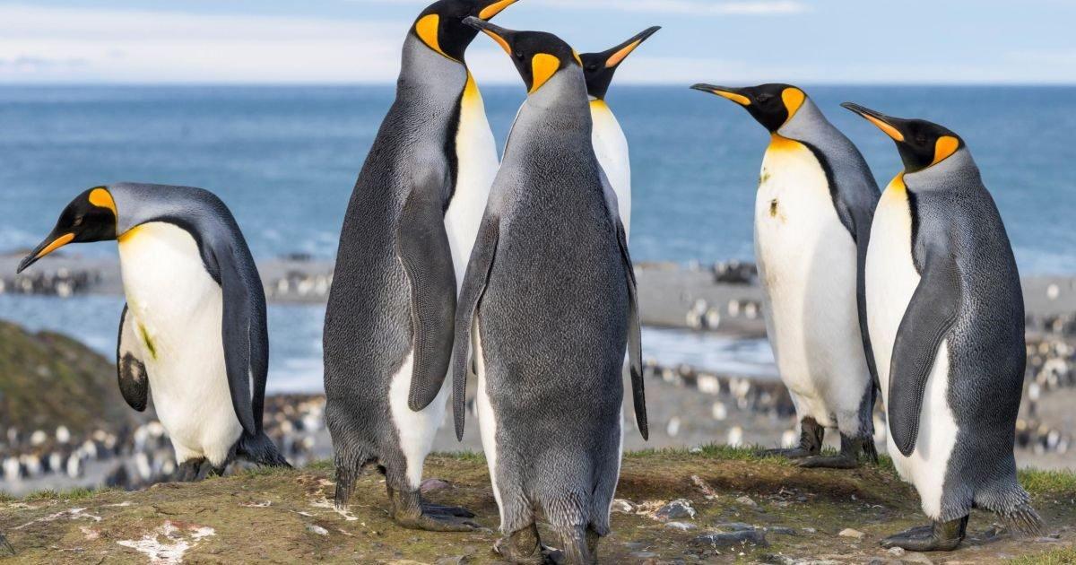 https   cdn cnn com cnnnext dam assets 200519155538 king penguins file e1596502207921.jpg?resize=412,232 - Savez-vous que les manchots de l'Antarctique produisent du gaz hilarant dans leurs excréments ?