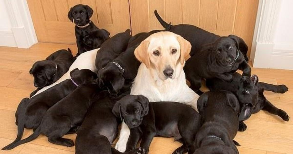 lucy5.jpg?resize=412,232 - Golden Labrador Has Given Birth To 13 Black-Coated Puppies