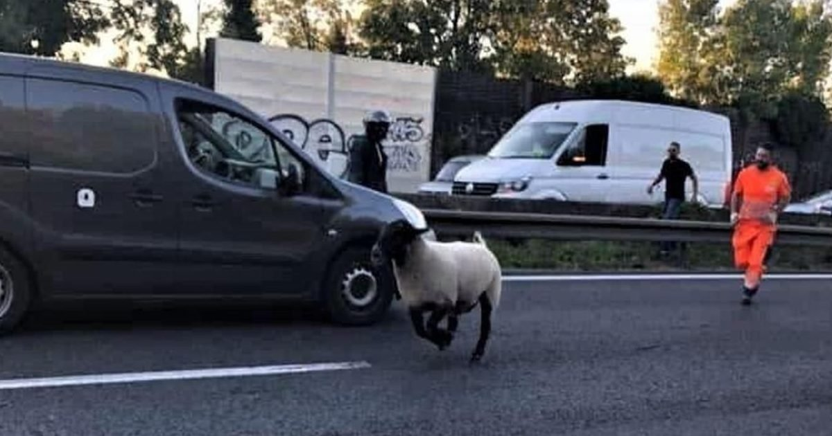 spjh5uuqk7n2yozdxx6qvkx3di 1 e1596229493375.jpg?resize=412,232 - Fête de l'Aïd : un mouton s'est échappé sur l'autoroute A3 en Seine-Saint-Denis