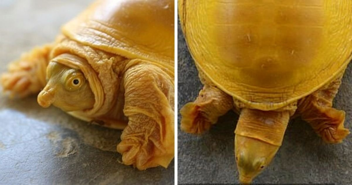 turtle5.jpg?resize=1200,630 - Turtle Spotted With Magnificent Golden Shell 'Revered As Incarnation Of Hindu God Vishnu'